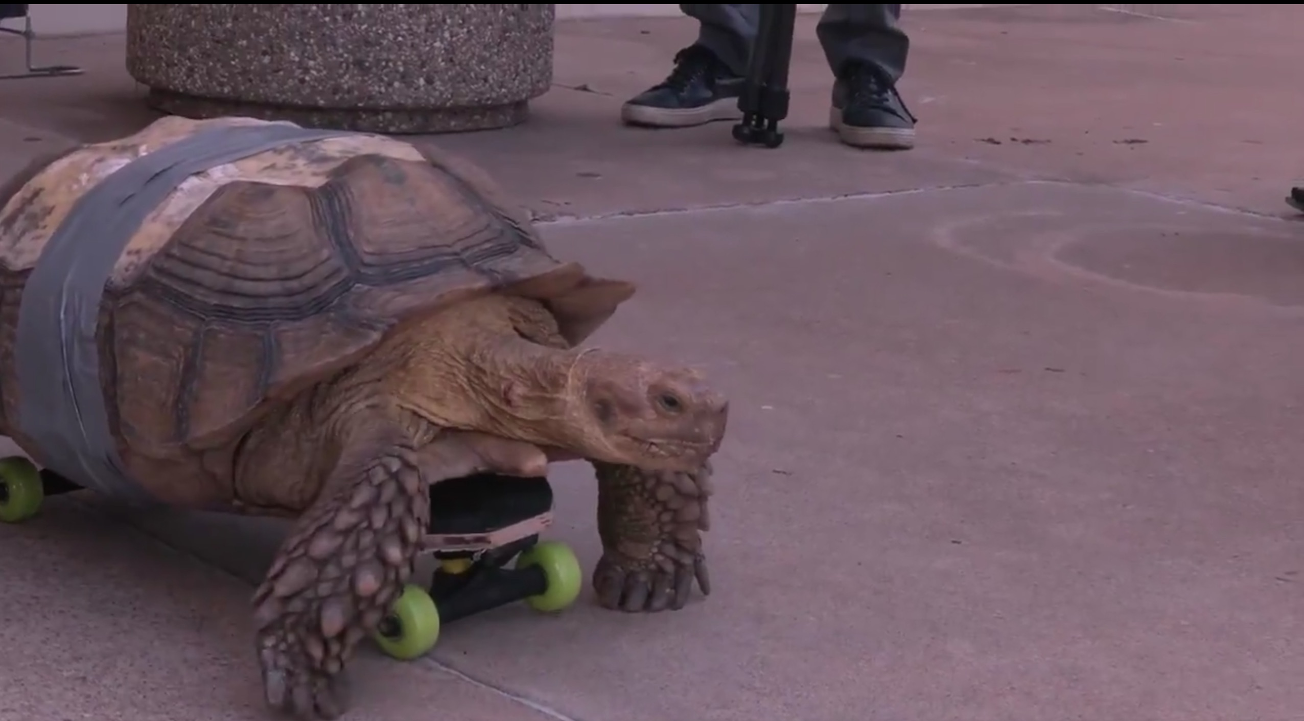 OSU doctors duct-tape turtle to skateboard, call it science.